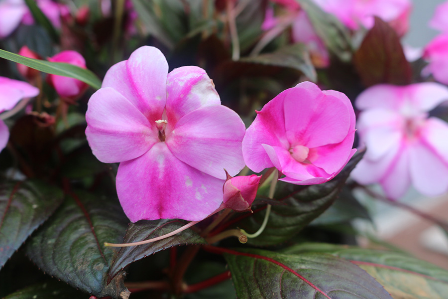 April+12%2C+2019+-+Three+stages+of+pink+impatiens+blooming.+They+are+annual+flowers%2C+so+they+will+reseed+and+won%E2%80%99t+bloom+until+late+May.